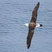 Laysan Albatross by Ilya Povalyaev