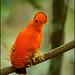 Guianan Cock-of-the-rock (Rupicola rupicola) by Glenn Bartley - www.glennbartley.com
