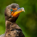 Double-crested Cormorant by Bill Varney