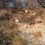Cabras angoleñas