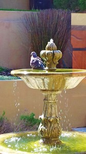 Weird Red Eyed Pigeon in our fountain