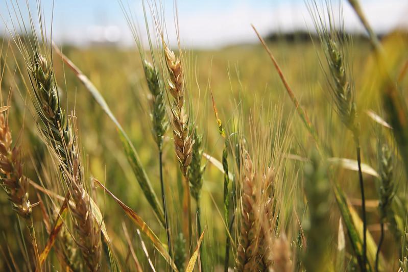 Wheat in Kansas