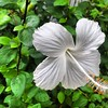 White Hibiscus, Hope Gardens Nursery. A minute later, a beautiful Mango (hummingbird) came to feed from it.