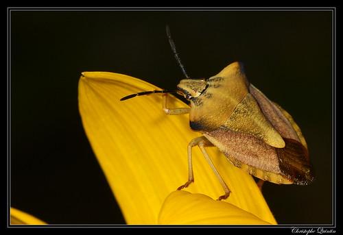 Carpocoris fuscipinus
