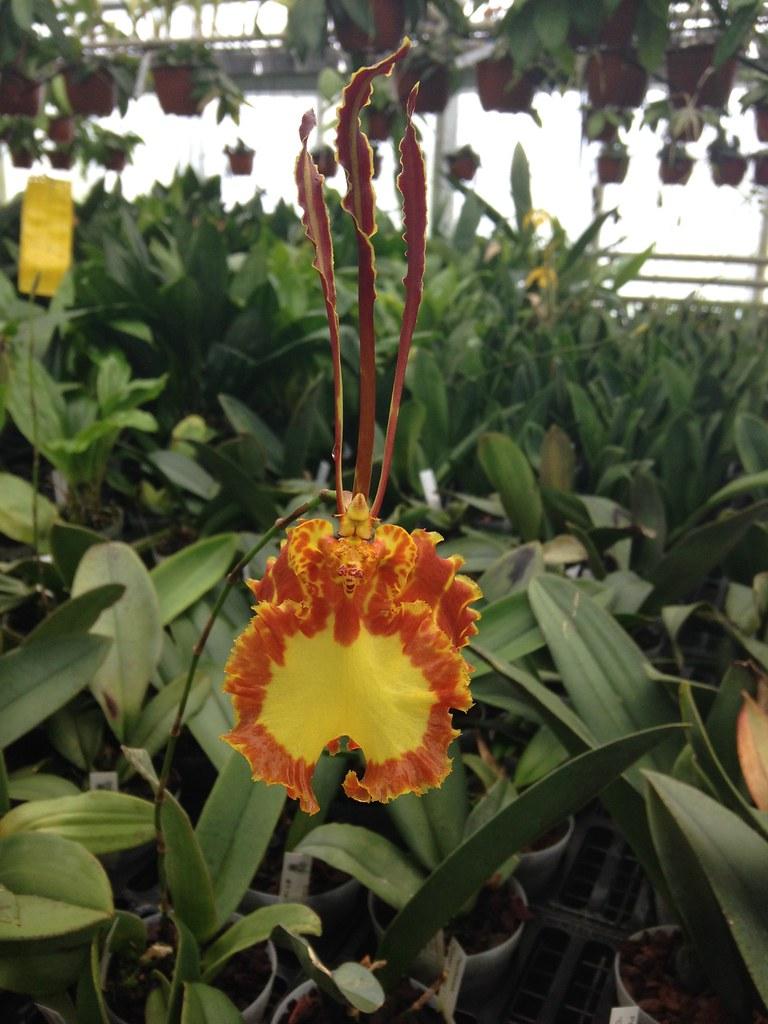 Orchidarium de Prangins 19306987555_bc38c7e1a7_b