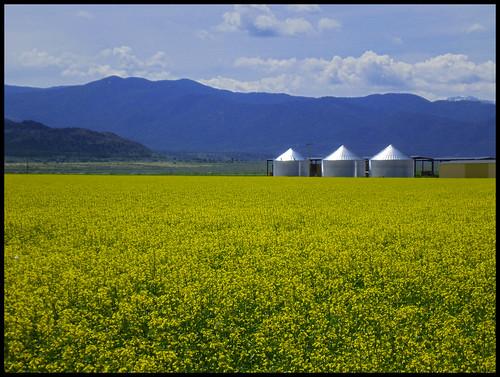 yellow colorado colorful co alfalfa