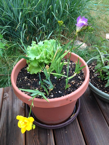 Freesia and volunteer lettuce
