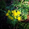 Groundsel growing at the park.