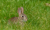 yoy eastern cottontail