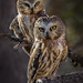 Northern Saw-whet Owls by Eric Gofreed