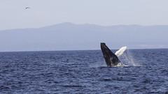 Whale Breach _D1A5521
