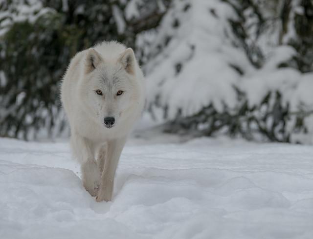 Loup Arctique 2017-1