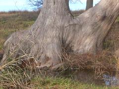 Cypress tree, Cibolo Creek Nature Center