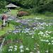 the Meiji Shrine Iris garden. by cate♪