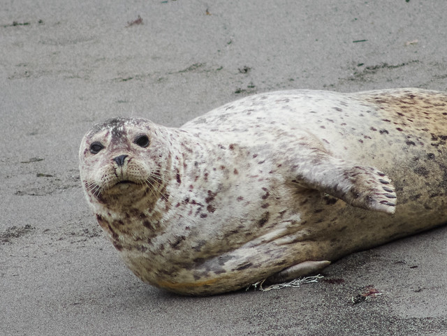 Harbor Seal, Pt. Lobos