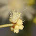 Small photo of Spreading Wattle bud (Acacia genistifolia)