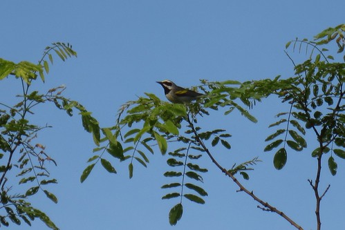 A golden-winged warbler perching