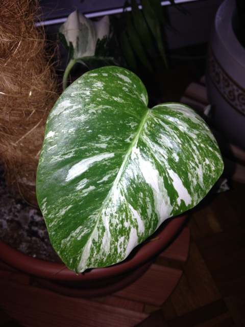 Monstera deliciosa variegata 19597992254_b64578af55_z