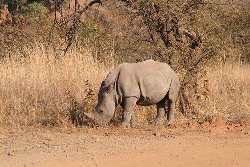A wee baby rhino