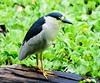 Black-crowned Night Heron by Au13J