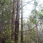 Lophostemon confertus trees