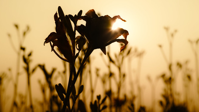 20150804_01_Sunset flower by SIGMA dp3 Quattro + FT-1201