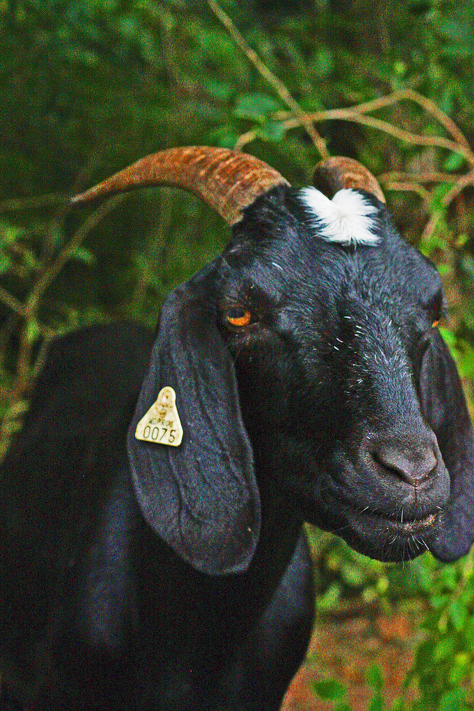 PS Black Goat