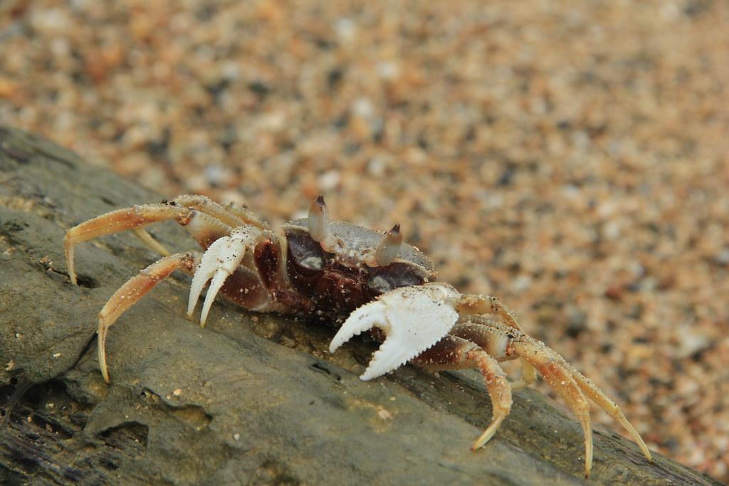 Crab, Ko Yao Noi