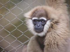 gibbon, animal, monkey, mammal, fauna, old world monkey, new world monkey, ape,