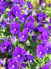 pansy(0.0), aubrieta(0.0), annual plant(1.0), flower(1.0), purple(1.0), plant(1.0), flora(1.0), petal(1.0), viola(1.0),