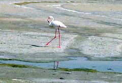 tundra(0.0), stilt(0.0), wetland(1.0), animal(1.0), fauna(1.0), flamingo(1.0), bird(1.0),