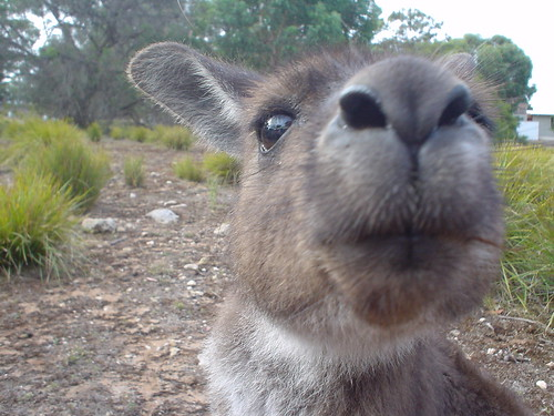 Sniffy 'roo