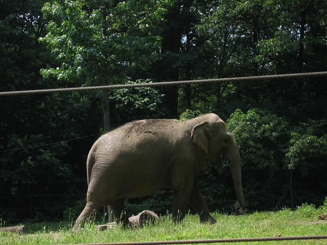 Indian elephant defini...