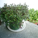 thyme planting in Petone by shiny