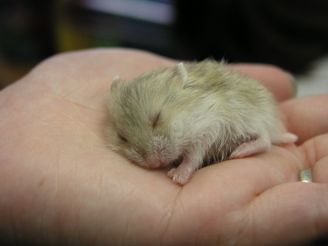 Sleeping Hamster   www.activeopen.co.jp/ASL/hamster.html ...  Cute Baby Hamsters Sleeping
