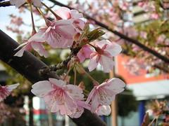Sakura-1 / 河津桜