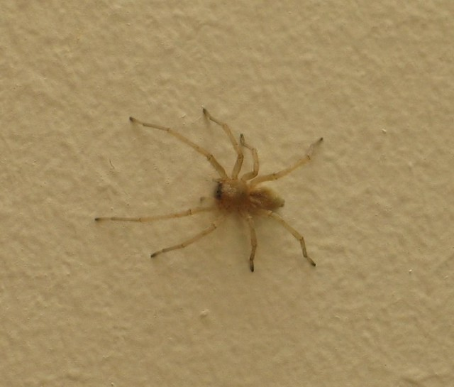 Common House Spiders Ohio