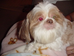 dog breed, animal, dog, cavachon, pet, japanese chin, havanese, lhasa apso, carnivoran,