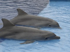 animal, marine mammal, common bottlenose dolphin, marine biology, short-beaked common dolphin, fauna, dolphin, stenella, rough-toothed dolphin, tucuxi, wholphin,