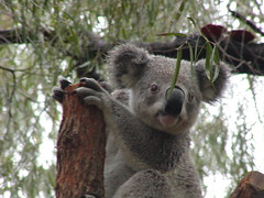 animal(1.0), mammal(1.0), koala(1.0), fauna(1.0), viverridae(1.0), wildlife(1.0),