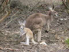 hare(0.0), vicuã±a(0.0), white-tailed deer(0.0), guanaco(0.0), musk deer(0.0), wallaby(1.0), animal(1.0), marsupial(1.0), mammal(1.0), kangaroo(1.0), fauna(1.0), wildlife(1.0),