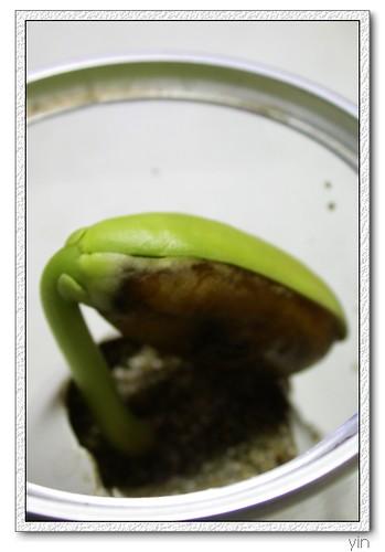 [魔豆第七天]下半片的種子發出臭掉的味道,自己修剪了它