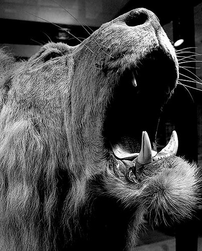 Black Lion Roaring