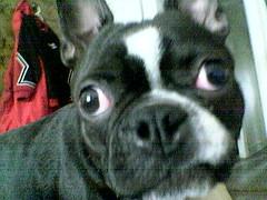 dog breed, animal, dog, pet, toy bulldog, french bulldog, boston terrier, carnivoran, bulldog,
