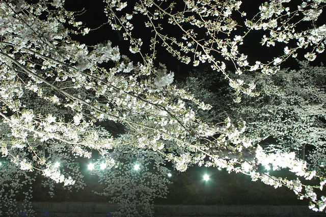 NIght scene - cherry blossoms1
