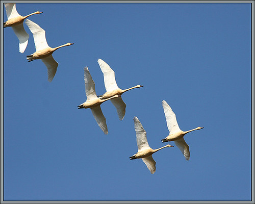 birds feathers winged birdwatching refuge duane ridgefield tundraswans clarkcounty experiencewa ridgefieldnationalwildliferefuge wildlifeviewingsites