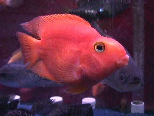 Blood parrot cichlid 2 flickr photo sharing for Blood parrot fish
