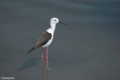 10944高蹺行鳥 Black-winged Stilt
