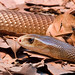 Deadly Taipan Snake-04+