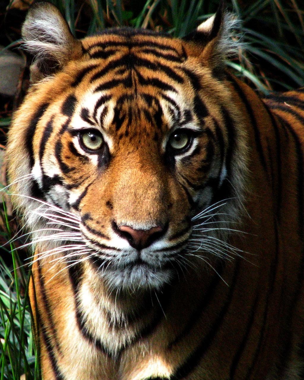 White Tiger Face Growl...